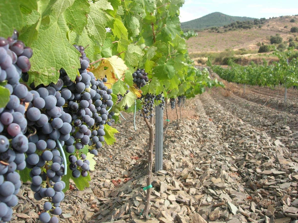 bva vinedos agosto 048-lafea-vinos