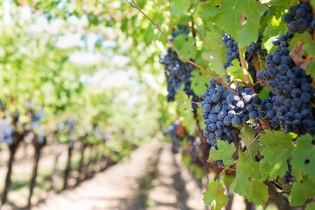 purple grapes 553462 640-lafea-vinos