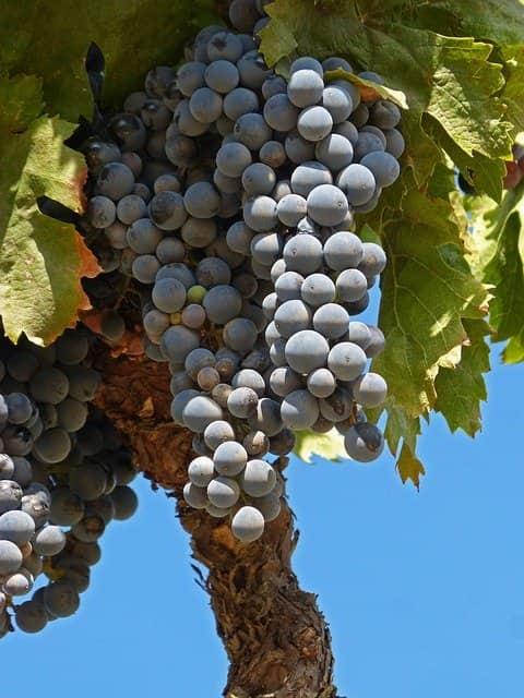 uva garnacha 1-lafea-vinos
