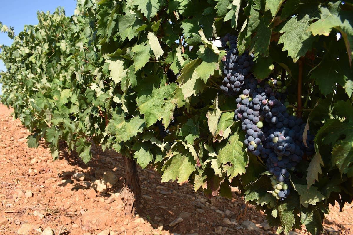 uva garnacha-lafea-vinos
